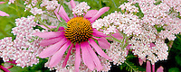 Magnus Purple Coneflower (Echincacea purpurea) . Oregon Gardens, Oregon