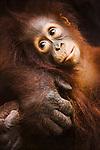 Baby orangutan in mother's arm, portrait, (Pongo pygmaeus), endangered species due to loss of habitat, spread of oil palm plantations, Tanjung Puting National Park, Borneo, East Kalimantan,