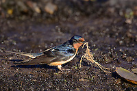 Barn Swallow (Riparia riparia) gathers mud and vegetation for nest building. Spring. Great Lakes Region. Ontario, Canada.