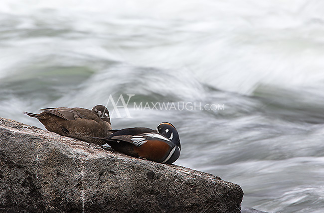 Harlequin ducks are one of my favorite subjects to photograph in Yellowstone.  They are usually only see for a few weeks every spring as they migrate through the park.