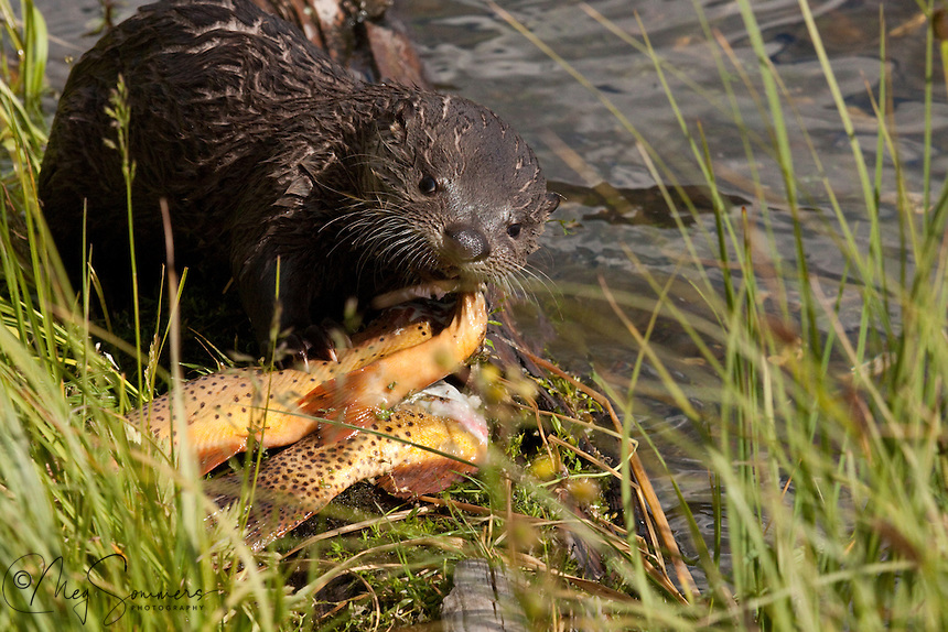 The River Otter (Lutra canadensis) baby.  This pup has quite the bounty at Trout Lake in  Yellowstone. Mom catches the fish and brings them to him!