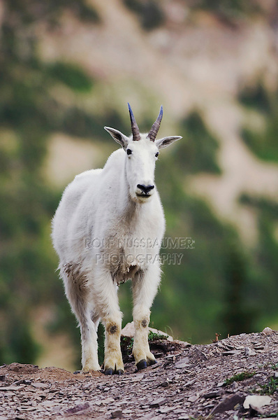 Mountain Goat,Oreamnos americanus,adult with summer coat, Glacier National Park, Montana, USA, July 2007