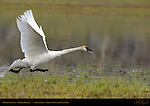 Trumpeter Swans Mating Display