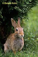 MA24-034z  Cottontail Rabbit  - Sylvilagus floridanus