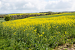 Yellow flowering oil seed rape crop growing on Salisbury Plain, near Orcheston, Wiltshire, England, UK