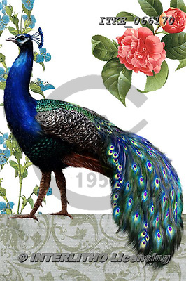 Isabella, REALISTIC ANIMALS, REALISTISCHE TIERE, ANIMALES REALISTICOS,peacock, paintings+++++,ITKE066170,#a#, EVERYDAY