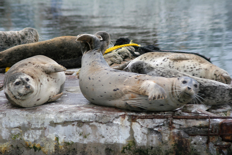 Seals lounging on dock in Noyo Harbor, Fort Bragg