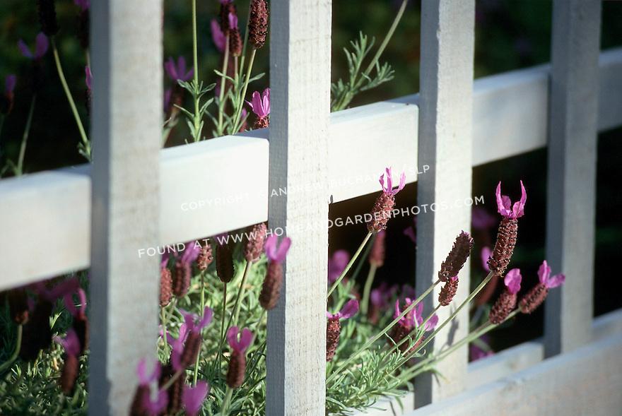 Spanish lavender peeks through a lattice fence.