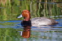 Redhead drake swimming on a small lake
