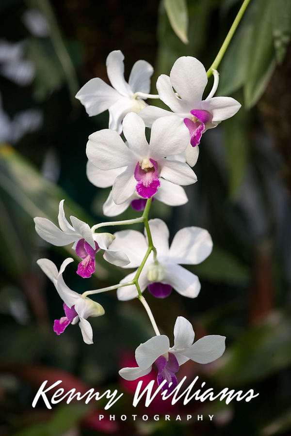White & Purple Orchids, Manito Park & Botanical Gardens, Spokane, WA, USA