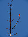 A lone red maple leaf clings to the skeleton of a tree at the end of autumn in Acadia National Park, Maine