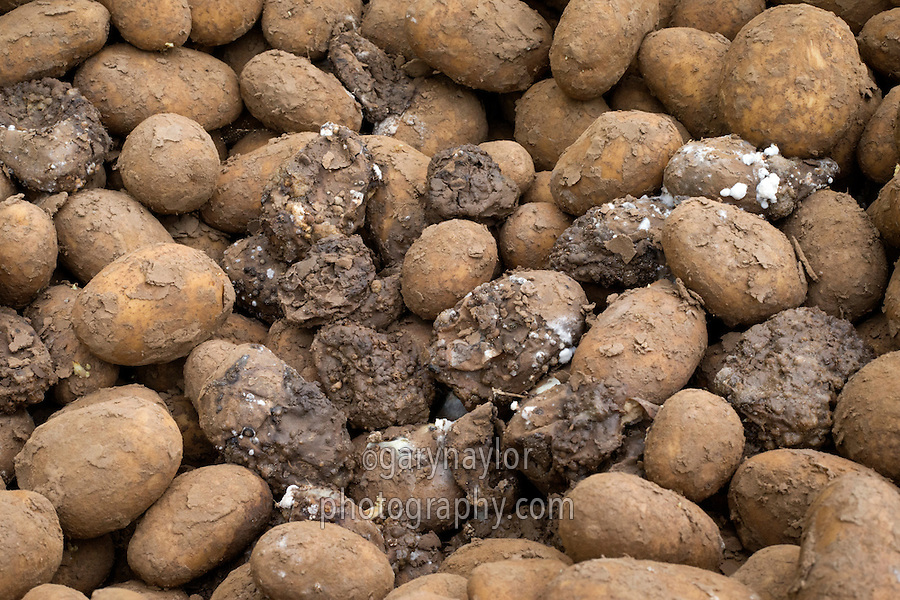 Maris Piper ware potatoes rotting in store - Lincolnshire, February