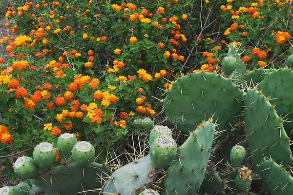 Texas Prickly Pear Cactus (Opuntia lindheimeri) and Texas Lantana (Lantana urticoides), Rio Grande Valley,Texas, USA