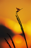 Four-spotted Pennant, Brachymesia gravida, adult at sunrise, Welder Wildlife Refuge, Sinton, Texas, USA