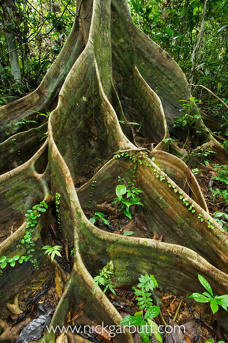 Buttress roots of Shorea sp. within lowland Dipterocarp rainforest. Danum Valley, Sabah, Borneo.