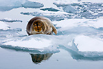 Norway, Svalbard, bearded seal on ice floe, Erignathus barbatus