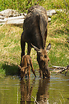 A cow moose and her newborn calf drink from a creek in Grand Teton National Park, Wyoming.