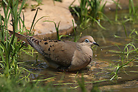 A graceful, slender-tailed, small-headed dove that's common across the continent. Seen here bathing surrounded in new cattail shoots.