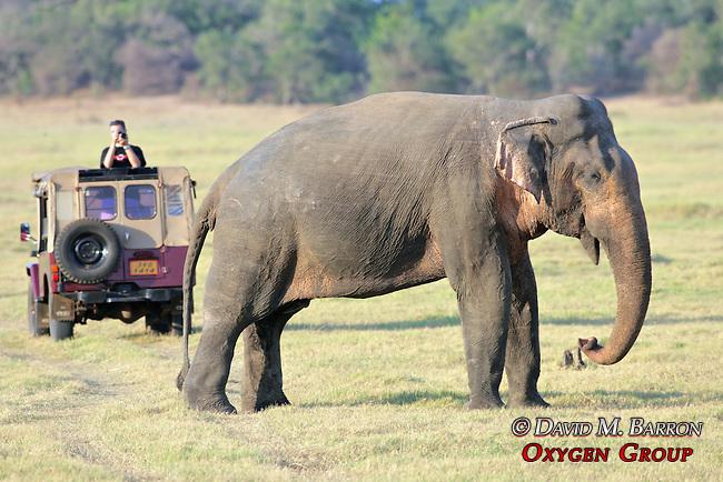 Asian Elephant, Minneriya National Park