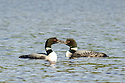 "Nothing says ""I Love You"" like a public display of affection by two Loons on Wachipauka Pond."