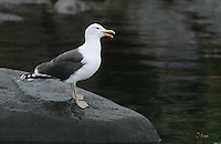 Mantelmöwe, Mantel-Möwe, Möwe, Mantelmöve, Larus marinus, great black-backed gull