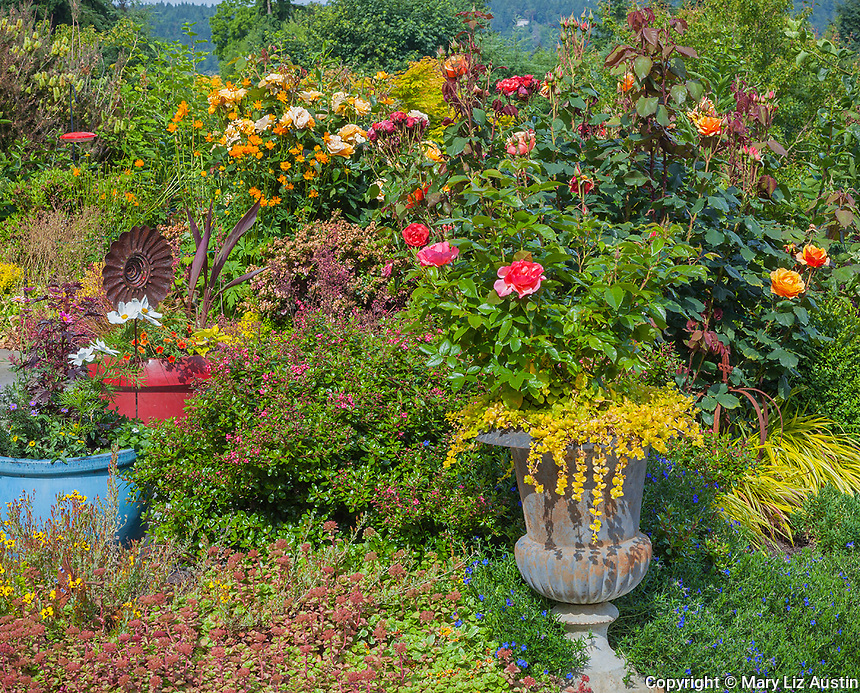Vashon-Maury Island, WA: A potted urn with roses and Lysimachia nummularia 'aurea' next to a perennial garden bed.