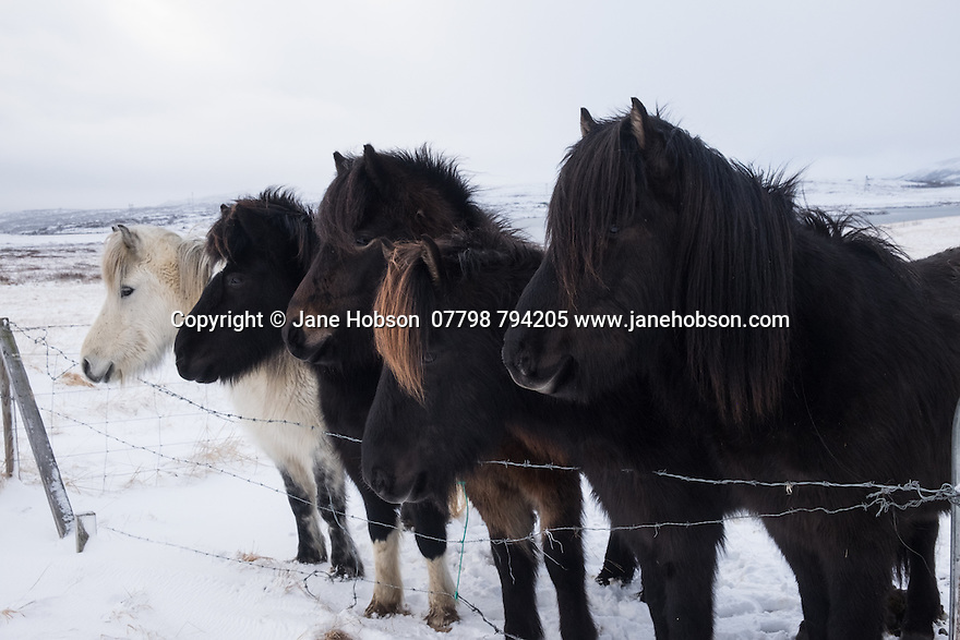Icelandic horses, in a snowy field, Thingvellir National Park, Iceland.