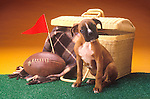 boxer puppy with picnic basket and football