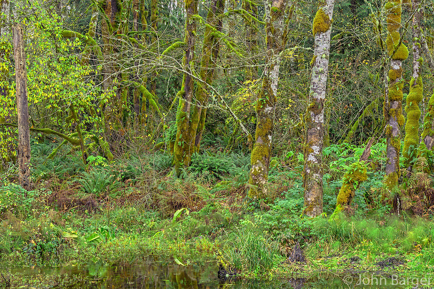 ORCAN_D251 - USA, Oregon, Cascade Range, Wildwood Recreation Site, Lush grove of red alder thrives in seasonally flooded area.