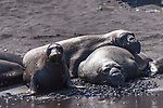 Guadalupe Island, Baja California, Mexico; northern elephant seals resting on a sandy beach in the afternoon sun