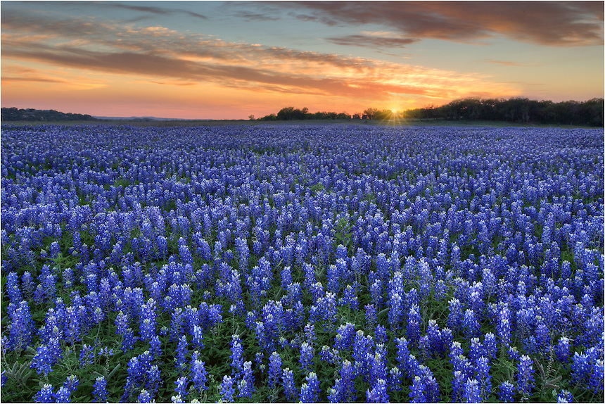Sunset over a field of Texas bluebonnets can be a beautiful sight. This sunburst comes from Turkey Bend on the edge of the Hill Country. Wildflowers were abudnant this evening.