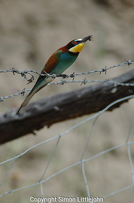 Bee Eater ( merops apiaster ) sitting on barbed wire fence with an insect init´s beak. Andalucia, Spain.