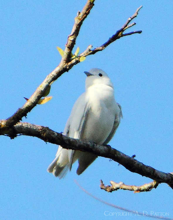 Male snowy cotinga