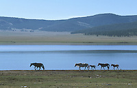 23 JUN 2002 - KHOVSGOL NATIONAL PARK, MONGOLIA - Horses walk beside a lake in the National Park. (PHOTO (C) NIGEL FARROW)