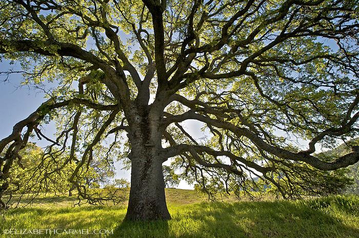 Grand Oak, Sierra Foothills