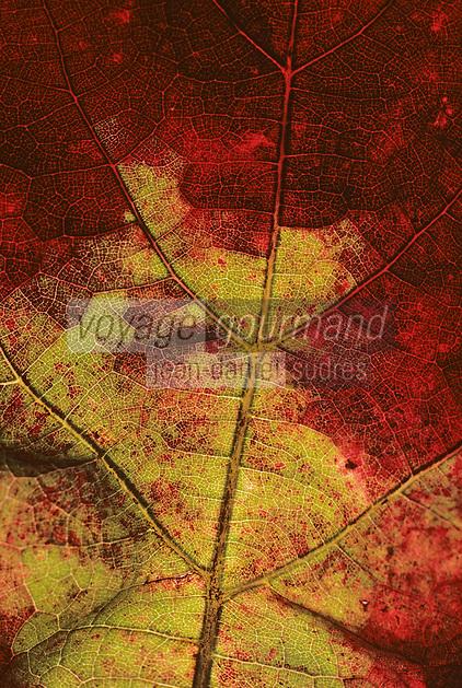 Europe/France/Midi-Pyrénées/46/Lot/Vallée du Lot/Env Puy-l'Evèque: Détail d'une feuille de vigne