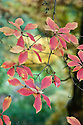 Autumn foliage of Enkianthus campanulatus, early November.