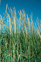 LYME-GRASS Leymus arenarius Height to 1.5m<br /> Blue-grey perennial of sand dunes and sandy beaches. FLOWERS are borne in tall heads of paired, grey-green spikelets (Jun-Aug). FRUITS are small, dry nutlets. LEAVES are up to 15mm wide, with inrolled margins. STATUS-Widespread and common on E coast of Britain; scarce or absent elsewhere.