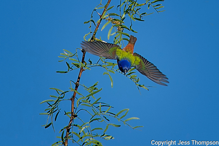 Painting Bunting Takes Flight, San Angelo State Park