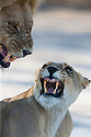 Botswana, Okavango Delta, Moremi; lions snarling at each other after mating