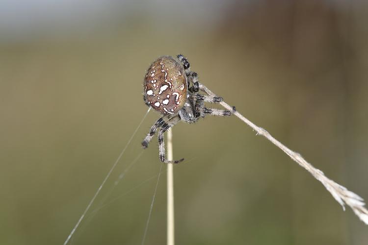 Four-spot Orb Weaver - Araneus quadratus