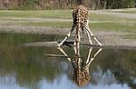 Foto: VidiPhoto<br /> <br /> ARNHEM &ndash; Alsof donderdag de grote droogte heeft toegeslagen. Met Afrikaanse temperaturen, een half uitgedroogde waterplas en een zeer dorstige giraffe waanden bezoekers van Burgers Zoo zich donderdag even op een ander continent. Op de beschutte savanne van de Arnhemse dierentuin liepen de temperaturen donderdagmiddag op tot rond de 30 graden Celsius. Ongekend voor deze tijd van het jaar, maar voor de Afrikaanse dieren op de vlakte geen probleem. Het was donderdag de warmste 19 april ooit.