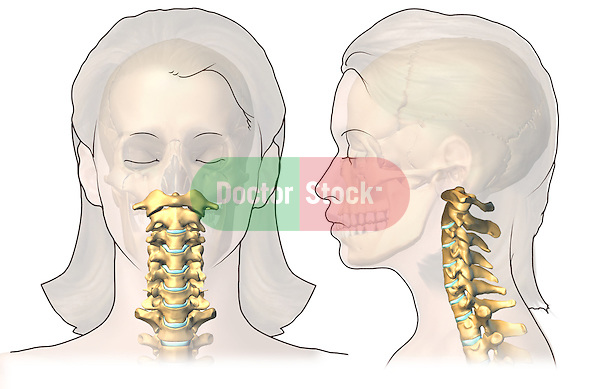 Anterior and Lateral Cervical Spines; depicts the anterior and lateral views of the cervical spine