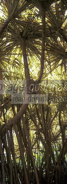 """France/DOM/Martinique/Balata/Les jardins: Détail Bakoua """"Pandanus Sanderi"""""""
