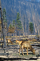 Rocky Mountain Elk graze on grass in burned over area in early spring.  Western U.S.