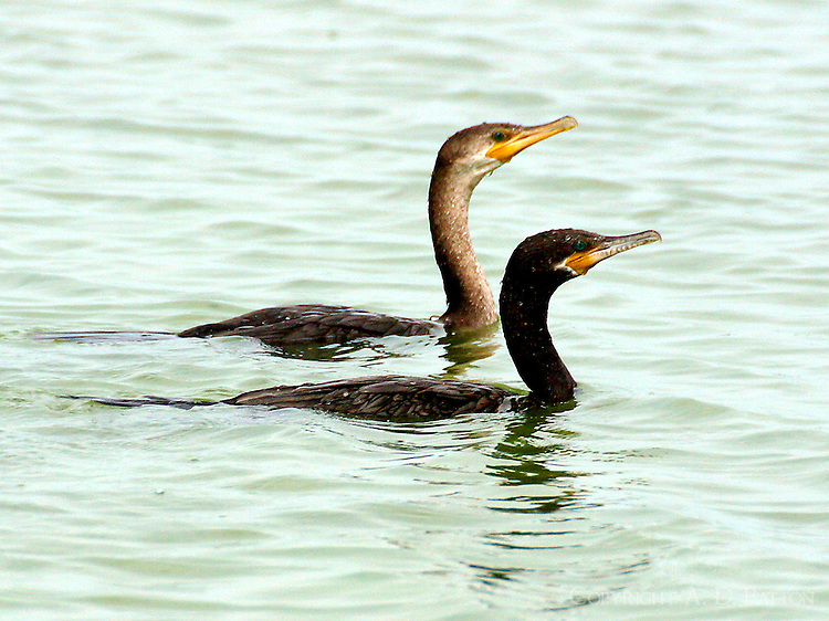 Pair of swimming neotropic cormorants, adult in breeding plumage and juvenile