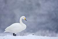 Whooper Swan Cygnus cygnus in the snow, Caerlaverock, Scotland, Solway, UK