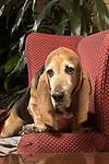 Bassett Hound, dog