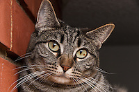 "Kira, a brown tabby with yellow green eyes, looking very attentive.  Our current title for this is ""Listening cat is happy to hear about your problems.""  You can also see the brown spot in her left eye very clearly."