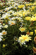 Argyranthemum frutescens flowers during the summer months at  Prescott Park in Portsmouth, New Hampshire USA